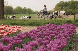 fietsen door de bollenvelden in Haler Leudal