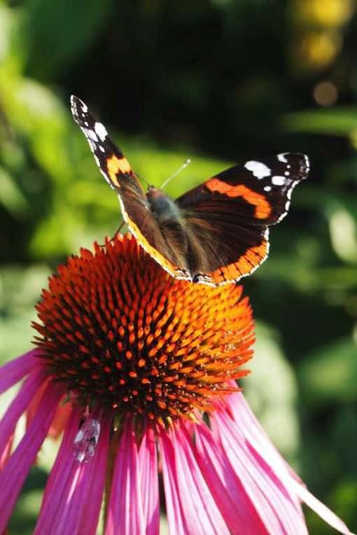 web-zonnehoed en vlinder okt 2011wandelen en fietbeek vergaderrui